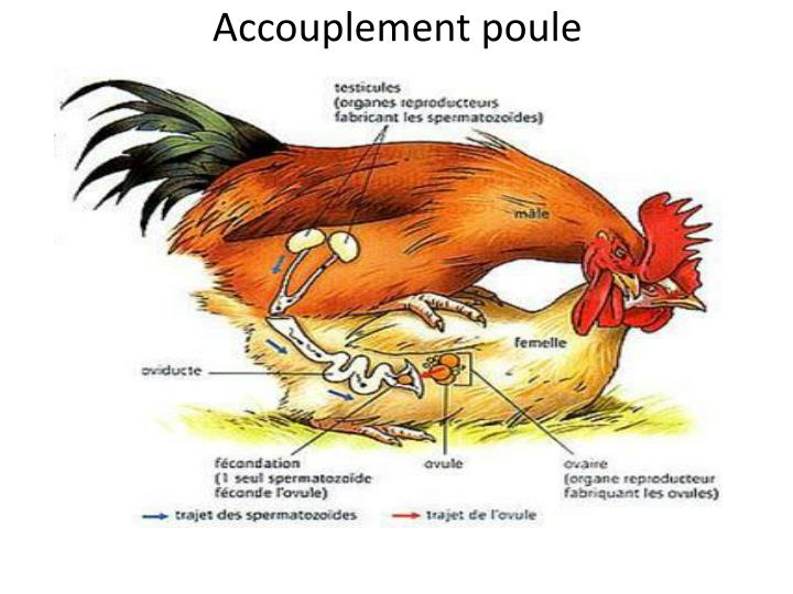 PPT - accouplement lion PowerPoint Presentation - ID:6919280