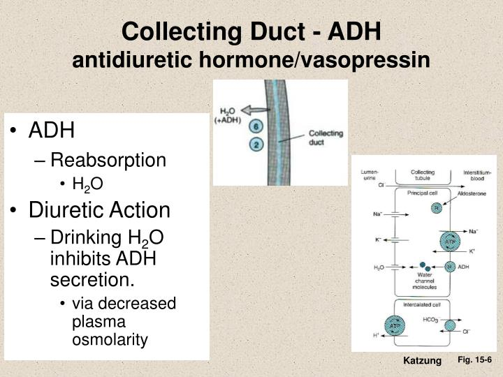 Collecting Duct - ADH