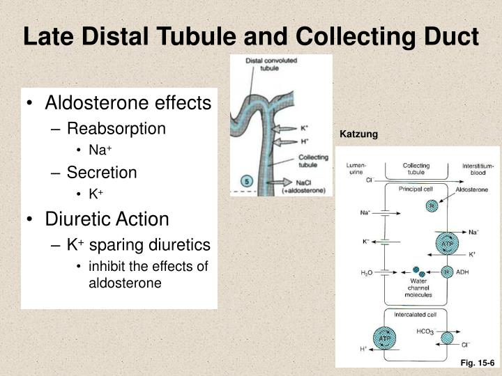 Late Distal Tubule and Collecting Duct