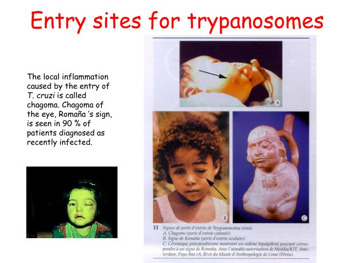 Entry sites for trypanosomes
