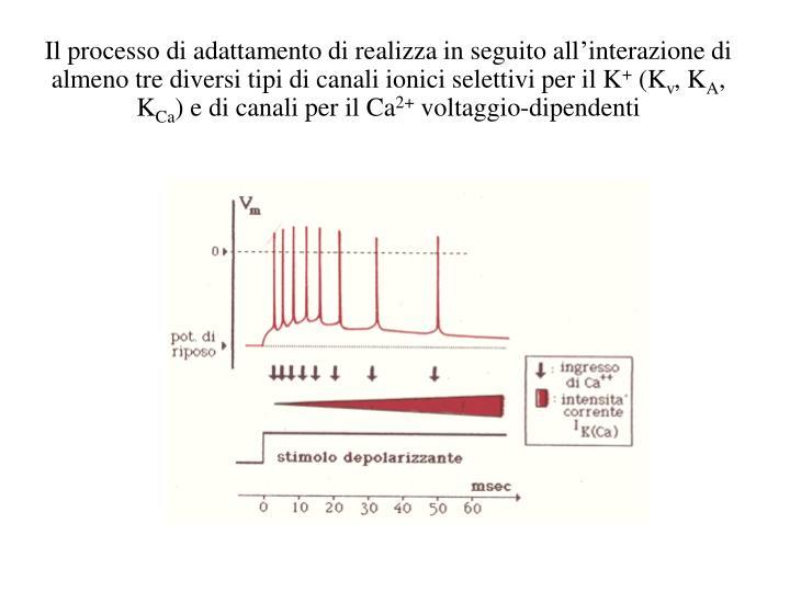 Il processo di adattamento di realizza in seguito all'interazione di almeno tre diversi tipi di canali ionici selettivi per il K