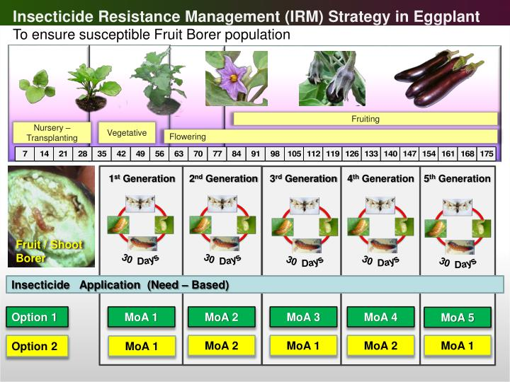 Insecticide Resistance Management (IRM) Strategy in Eggplant
