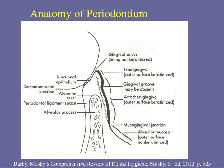 PPT - Gingival and Dentogingival Junctional Tissues DHY114 – Week 2 ...