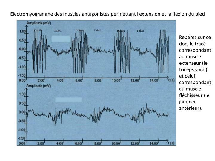 Electromyogramme des muscles antagonistes permettant l'extension et la flexion du pied