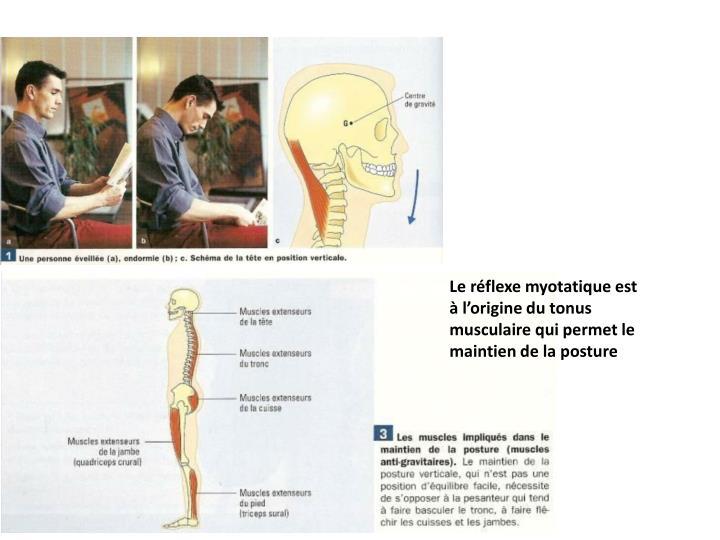 Le réflexe myotatique est à l'origine du tonus musculaire qui permet le maintien de la posture