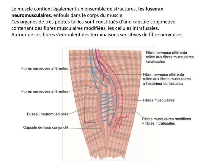 Le muscle contient également un ensemble de structures,