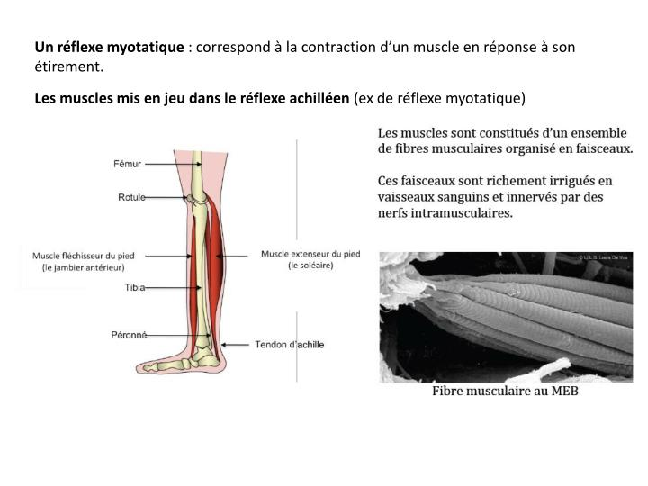 Un réflexe myotatique