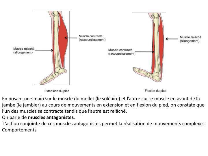 En posant une main sur le muscle du mollet (le soléaire) et l'autre sur le muscle en avant de la jambe (le jambier) au cours de mouvements en extension et en flexion du pied, on constate que l'un des muscles se contracte tandis que l'autre est relâché.