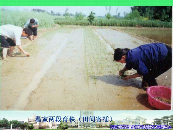温室两段育秧(田间寄插)