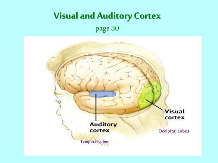 Visual and Auditory Cortex