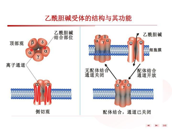 乙酰胆碱受体的结构与其功能
