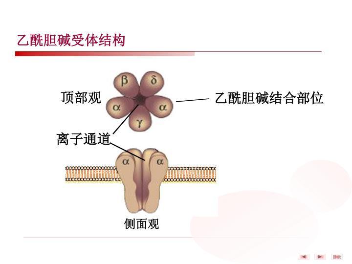 乙酰胆碱受体结构
