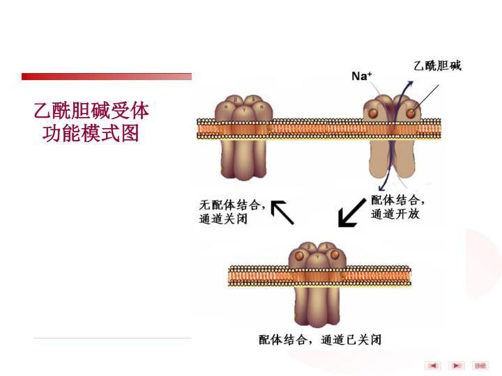 乙酰胆碱受体功能模式图