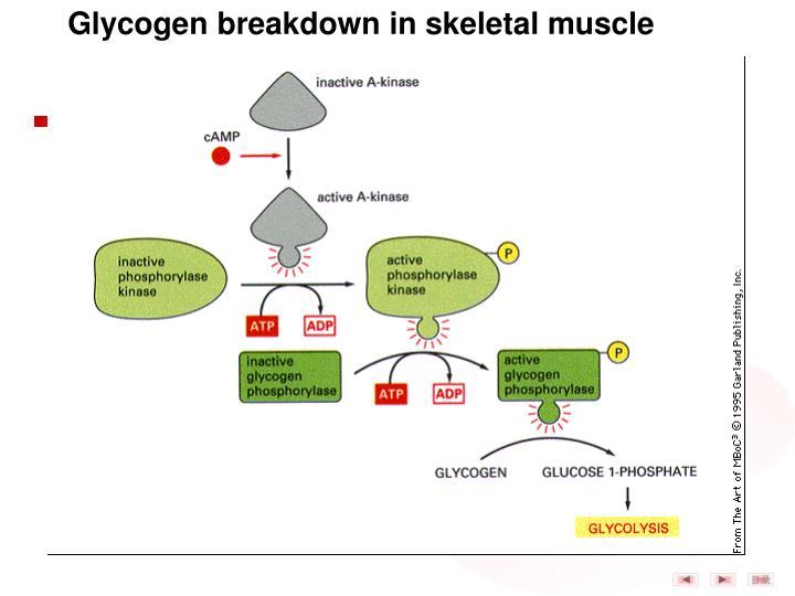 Glycogen breakdown in skeletal muscle