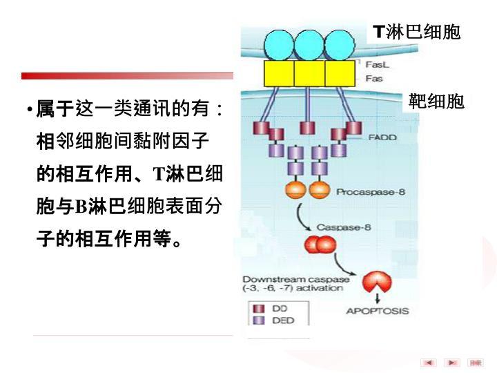 属于这一类通讯的有:相邻细胞间黏附因子的相互作用、