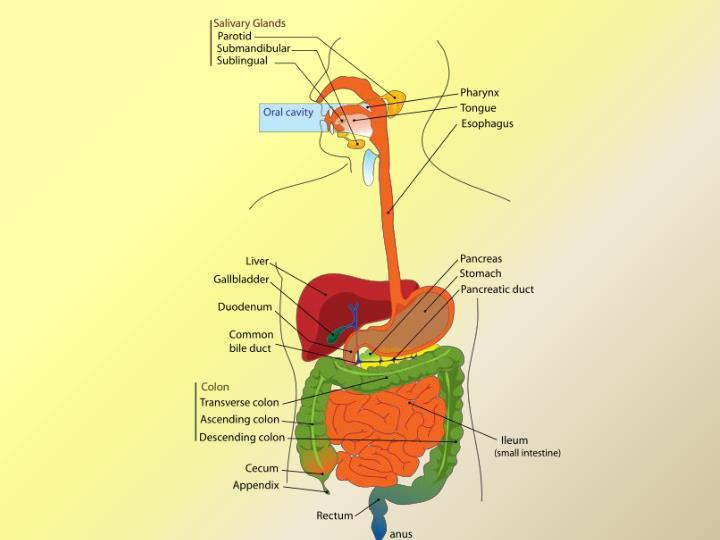 Digestive system i oral cavity and salivary glands
