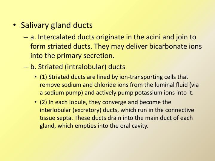 Salivary gland ducts
