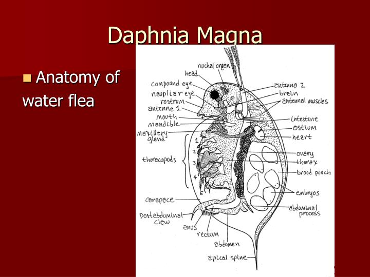 discussion of daphnia essay Writing a scientific paper in use step 3 to formulate the backbone of your discussion during the day bosmina longirostris was more abundant than daphnia.