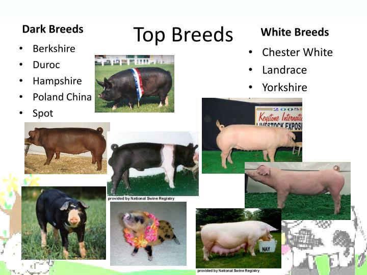 Top Breeds