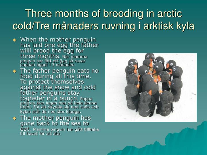 Three months of brooding in arctic cold/Tre månaders ruvning i arktisk kyla