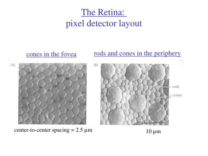 The Retina: