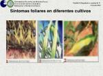 s ntomas foliares en diferentes cultivos1