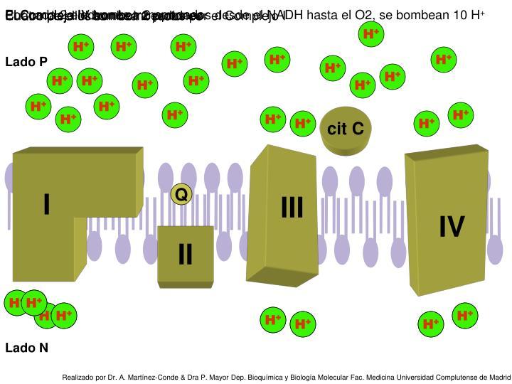 Por cada 2 electrones transportados desde el NADH hasta el O2, se bombean 10 H