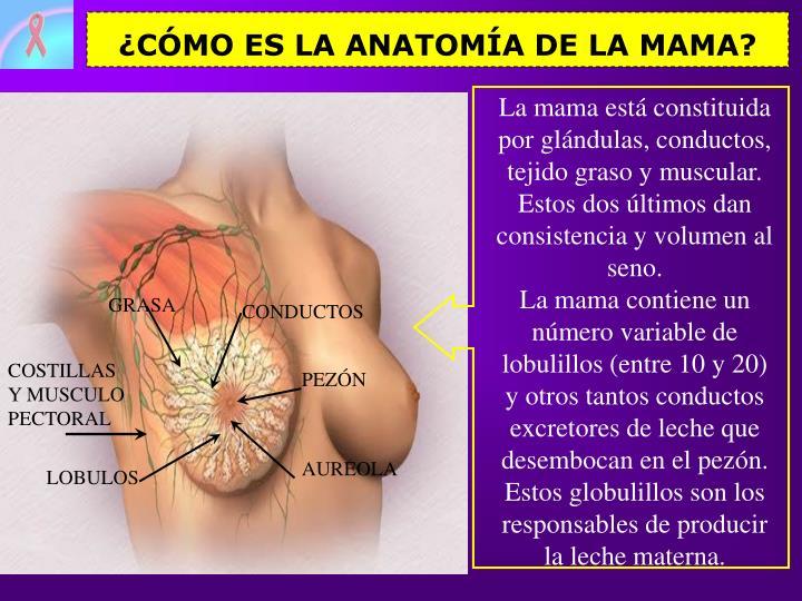 PPT - EL AUTO-EXAMEN DE LOS SENOS PowerPoint Presentation - ID:6963166