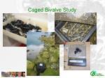 caged bivalve study