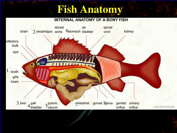Ppt Fish Internal And External Anatomy Powerpoint Presentation
