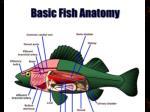 fish anatomy2