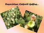 rascvjetani ljekoviti kaktus