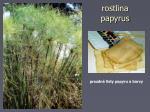 rostlina papyrus