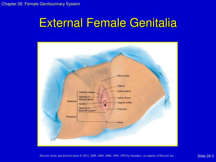 External Female Genitalia