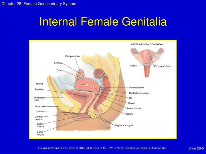 Internal Female Genitalia