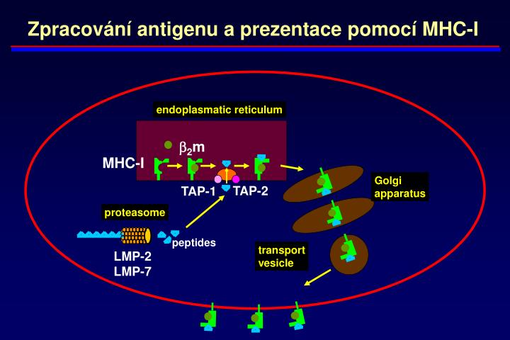 Zpracování antigenu a prezentace pomocí MHC-I