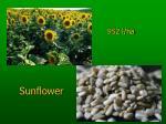 952 l ha sunflower