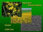 rapeseed brassica napus