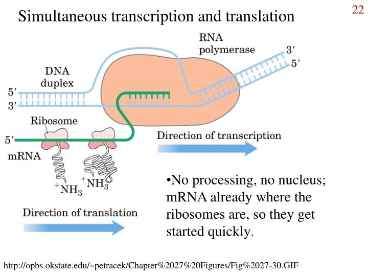 Simultaneous transcription and translation