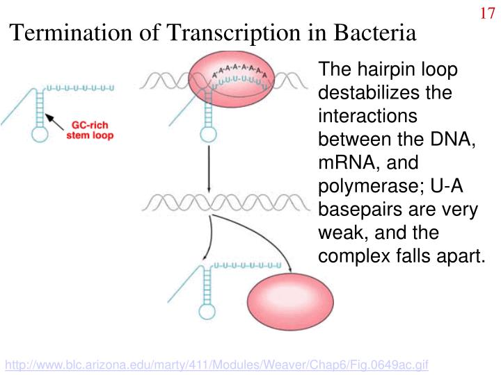 Termination of Transcription in Bacteria
