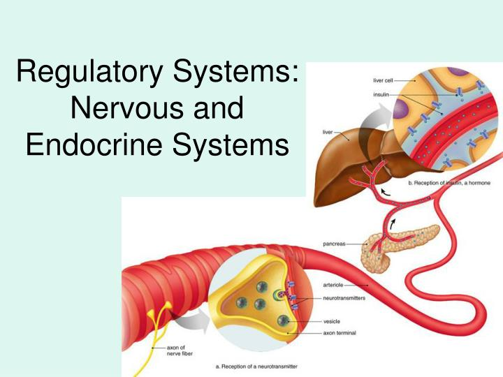 regulatory systems nervous and endocrine systems n.