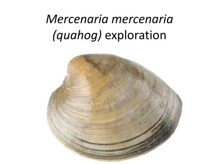 M ercenaria mercenaria quahog exploration