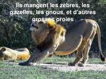 ils mangent les z bres les gazelles les gnous et d autres grosses proies