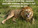 l hurlement d un lion masculin peut tre entendu de jusqu huit kilom tres au loin