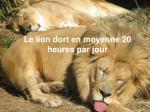 le lion dort en moyenne 20 heures par jour