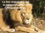 le lion majestueux est la personnification de l afrique sauvage