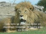 les lions se disent au revoir en mordillant l estomac de l autre avec les dents