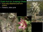 chain fruit or jumping cholla