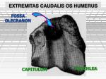 extremitas caudalis os humerus