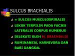 sulcus brachialis